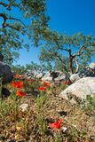 Big and old ancient olive tree in the olive garden in Mediterran. Ean with stones and poppy flowers Stock Image