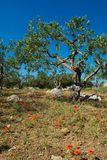 Big and old ancient olive tree in the olive garden in Mediterran. Ean with stones and poppy flowers Stock Photo