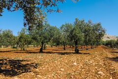 Big and old ancient olive tree in the olive garden in Mediterran. Ean Royalty Free Stock Photos