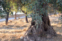 Big and old ancient olive tree in the olive garden Royalty Free Stock Images