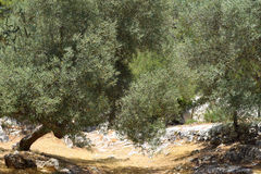Big and old ancient olive trees Stock Photo