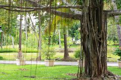 Big old banyan tree. Royalty Free Stock Photos