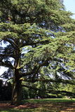 Big old cedar Royalty Free Stock Photography