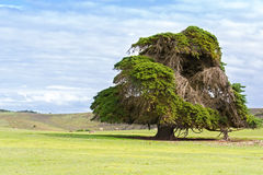 Big old Cedar tree standing alone at the green field in Victoria Stock Image