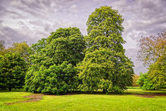 Big old chestnut trees in Park of Audley End House Stock Photo