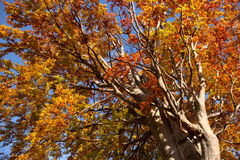 Big Old Colorful Three in Autumn colors, beautiful Fall season Royalty Free Stock Images