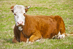 Big old cow resting. On grass Stock Image