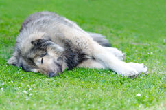 Big old dog taking a break Royalty Free Stock Images