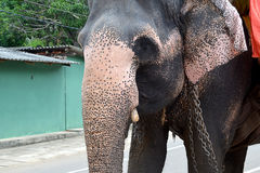 Big and old elephant walking on the street of Sri Lanka Stock Photos