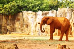 The big old elephant at the zoo. Royalty Free Stock Photography