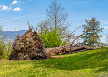 Big old fallen tree on a ground. Royalty Free Stock Image