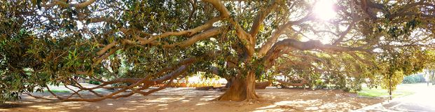 Big ficus tree. Big old ficus tree in a park royalty free stock photos