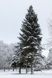 Big old fir in winter park Royalty Free Stock Photos
