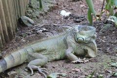 Big old Iguana. Royalty Free Stock Photography