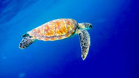 Big old green sea turtle peacefully swimming and diving near the island coral reef stock photography