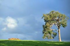 Big old gum tree Stock Image