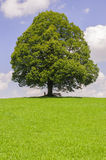 Big old linden tree in meadow Stock Image