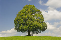 Big old linden tree in meadow Royalty Free Stock Image