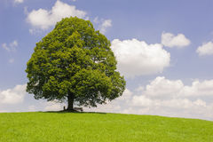 Big old linden tree in meadow Stock Photos