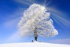 Big old linden tree in winter with snow Stock Images