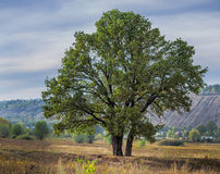 The big old lonely oak tree on a  meadow Royalty Free Stock Photography