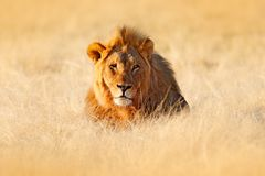 Big old mane lion in the grass, face portrait of danger animal. Wildlife scene from nature. Animal in the habitat, beautiful. Evening light royalty free stock photography