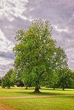 Big old maple tree in the Park of Audley End Royalty Free Stock Images