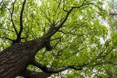 Big old maple tree Stock Photography
