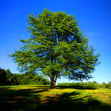 Big Old Mature Tree on a Green Hill with Blue Sky Stock Images