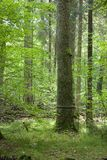 Big old oak black strip marked. In forest against illuminated leaves Stock Images