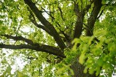 Big old oak leaf folliage above Stock Images