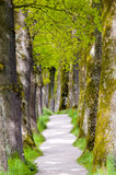 Big old oak tree alley Stock Images