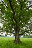 Big old oak tree Royalty Free Stock Images
