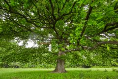 Big old oak tree Royalty Free Stock Photography
