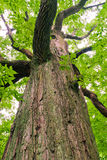 Big old oak tree in the forest Royalty Free Stock Image