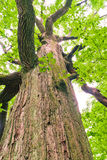 Big old oak tree in the forest Stock Images