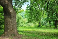 Big old oak tree on glade. In park Royalty Free Stock Photography
