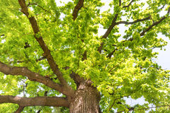 Big old oak tree. With green leaves Royalty Free Stock Photo