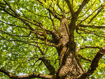 Big Old Oak Tree With Green Leaves From Below. The trunk and branches of an old oak tree lit up with the sun viewed from below Royalty Free Stock Images