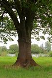 Big old oak tree Stock Image