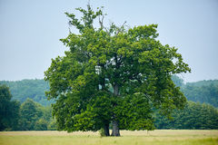 Big old oak tree on a meadow Royalty Free Stock Photography