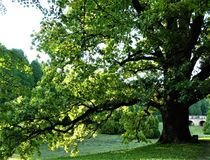 A big, old oak tree in the park stock photography