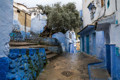 Big old olive tree growing in the small yard of the blue city, in the rain Stock Photos