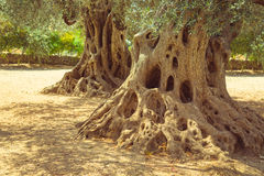Big old olive tree roots and trunk Royalty Free Stock Photo