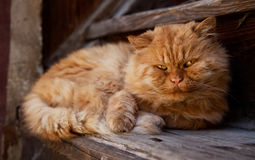 Big old orange cat. Orange furry cat is lying on a wooden stairs Royalty Free Stock Photo