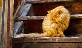 Big old orange cat. Is licking his paw royalty free stock photography
