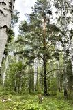 Big old pine in the birch forest. In summer stock photography
