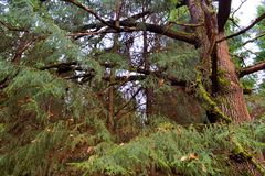 Big old pine in a dark autumn forest. Russia.  stock images