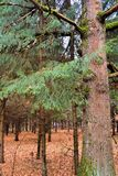Big old pine in a dark autumn forest. Russia.  royalty free stock image