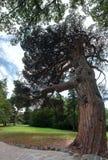 Big old pine panorama. In beautiful park Royalty Free Stock Photos